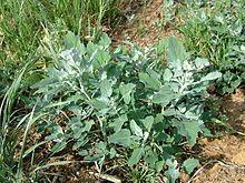 Chenopode = 4 Weed Plants, Garden Plants, Petunias, Plantar, Botany, Trees To Plant, Nature, Album, Flowers