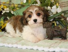 cavachons puppies - Bing Images