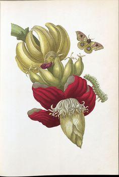 Maria Sibylla Merian, Metamorphosis Insectorum Surinamensium. Amsterdam, 1705 (Faksimile 1975). Banane mit Eulenfalter