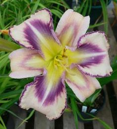 "DESTINED TO SEE by Larry Grace #daylily #flower I know this one looks too beautiful to be true - but it does actually look like this!  It is breathtakingly beautiful.  It is a 6"" flower and a very pale pink with lavender blue eye and edge with yellow throat.  A definite must have."