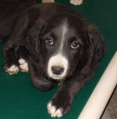 Adorable puppy at risk of losing life at North Carolina animal control. Facebook thread: https://www.facebook.com/photo.php?fbid=650757148328970&set=pb.147480128656677.-2207520000.1397937041.&type=3&theater