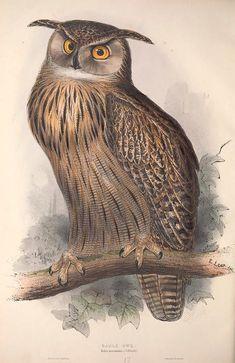 The Birds of Europe, John Gould, 1837.