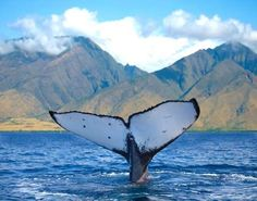 Went on a whale watching cruise in Lahaina Maui -- what a thrill!