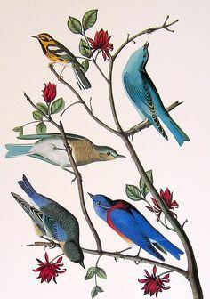 Audubon Bird Print - Townsend's Warbler, Mountain Bluebird, Western Bluebird - Large 1981 Vintage Audubon Bird Book Page