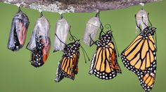 Parks Canada - Point Pelee National Park - Life Story of the Monarch Butterfly