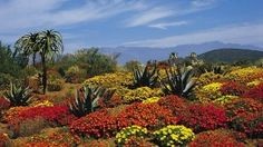 Situated at the foot of Table Mountain in Cape Town, South Africa, the Kirstenbosch National Botanical Gardens contain more than distinct plant species. South Africa Facts, Cape Town Tourism, Sa Tourism, National Botanical Gardens, Public Garden, Garden Pictures, Plant Species, Africa Travel, Beautiful Gardens