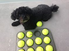 Turn an everyday kitchen essential into a fun-filled dog game for you and your pooch. This muffin tin dog game is a fun and enriching activity to play with your dog. Diy Projects For Dog Lovers, Animal Projects, Dog Puzzles, Puzzle Toys, Diy Dog Toys, Dog Games, Homemade Dog Food, Dog Supplies, Dog Treats