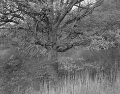 George Tice  Oak Tree, Holmdel, NJ,  1970 Palladium print 20 x 24 inches Courtesy of Joseph Bellows gallery