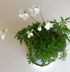 肥後すみれ  去年頂いた苗が今年も咲きました.こんなに可憐な花ですがほっておいても育つので手間がかかりません.