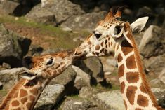 15 Adorable Pictures Of Animals Kissing