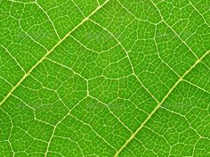 Realistic Graphic DOWNLOAD (.ai, .psd) :: http://realistic-graphics.top/pinterest-itmid-1000552120i.html ... Green leaf texture. ...  background, bright, cell, cellular, close-up, closeup, flora, frame, framework, grain, green, leaf, macro, nature, pattern, structure, surface, texture, textured, vein, white  ... Realistic Photo Graphic Print Obejct Business Web Elements Illustration Design Templates ... DOWNLOAD :: http://realistic-graphics.top/pinterest-itmid-1000552120i.html