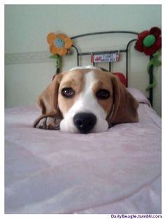 A Cute Beagle in Lazy Style