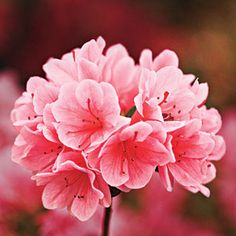The Complete Guide to Essential Southern Plants: Azalea