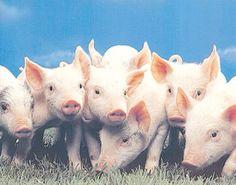 I LOVE PIGS