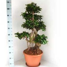 Photo de  Ficus macrocarpa Ginseng grand Bonsaï