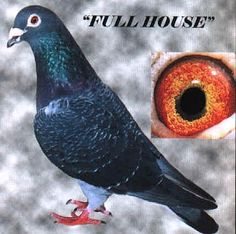 Racing pigeon Full House a Schellens pigeon sired a place North Texas Yearling 400 Mile Futurity Winner. Pet Pigeon, Pigeon Bird, Dove Pigeon, Racing Pigeons For Sale, Racing Pigeon Lofts, Pigeon Pictures, Pigeon Breeds, Homing Pigeons, Mail Art