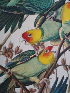 Sells original Audubon prints and related books, fine reproductions of Audubon's work and a selection of original prints from other artists Audubon Prints, Audubon Birds, Vintage Birds, Vintage Art, Vintage Flowers, Parrot Painting, Birds Of America, Circus Art, John James Audubon