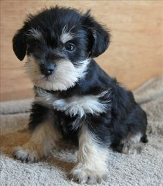 | Miniature Schnauzer Puppy black and silver, this is such a super darling puppy