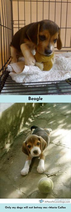 """""""The average dog is a nicer person than the average person."""" #Beagles #beaglelove"""