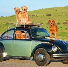 cachorros e fuscas <3  golden dog  vw