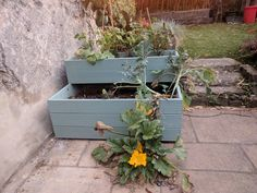 2 tieir planter with overgrown courgettes