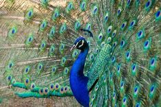 The Symbolic Meaning Of The Peacock – Red Rain Buddha Peacock Feather Tattoo Meaning, Female Peacock, Peacock Pictures, Peacock Images, Bird Pictures, Peacock Colors, Peacock Feathers, Peacock Art, Past Life Regression