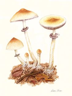 P. cubensis - Watercolor on paper,   2012, Donna Torres (www.donnatorres.com)