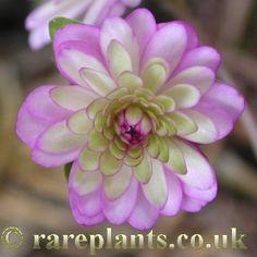 Hepatica japonica 'Yuzuru' [Family: Ranunculaceae]