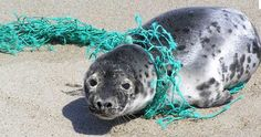 All to often marine animals get caught up in discarded nets and other debris items