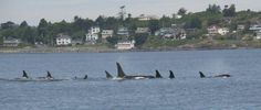 The J Pod.  Orca whale family that makes Puget Sound their home.