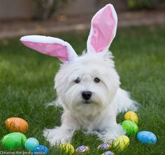 A friendly reminder for the Easter weekend to keep chocolate away from pesky westies and all pets ! Chocolate is poisonous to dogs !
