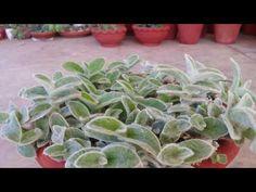 Tradescantia Sillamontana /White gossamer plant ca - YouTube