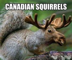 Canadian squirrel
