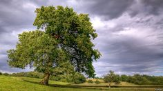 English Oak by mark welby