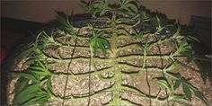 grow p2 mainline How To Grow Marijuana Step 2: Growing And Cultivation