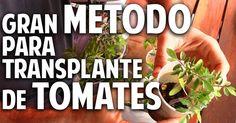 ¿A que no conocías este método para trasplantar los tomates cherry?