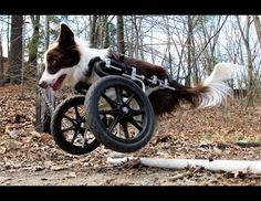 Disabled Dog Is On a Roll  Roosevelt the Border Collie Gets Around on New Wheels  http://abcn.ws/IIL5kl