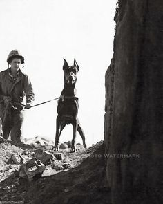 Marine Corp War Dog Photo Doberman Checking Cave for Enemy Iwo Jima WWII
