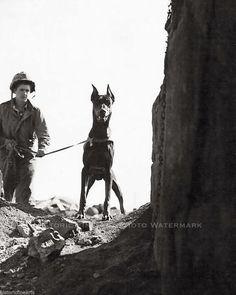 Marine Corp War Dog Photo Doberman Checking Cave for Enemy Iwo Jima WWII