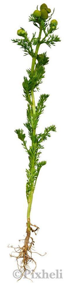 Takapihan yrttikasvit: Pihasaunio. Kukkamykeröt kerätään kukinnan alussa ja kuivataan nopeasti.Käytetään sellaisenaan tai kuivattuna. Maista kukintoa ennen käyttöä, sillä sen maku on voimakas. Lehdet ovat miedompia. Makua voi parantaa sekoittamalla sekaan toisia, maukkaampia yrttejä. Hedelmäisen makunsa vuoksi sopii hyvin esimerkiksi mansikoiden ja vadelmien seuraksi. Käy mainiosti salaatteihin ja kalan kylkeen. Mykeröt sopivat teeksi. Se kukkii heinä-syyskuussa.Pihasaunion ominaisuuksia ja ni Preserves, Plants, Food, Trees, Vegetable Garden, Preserve, Essen, Tree Structure, Preserving Food