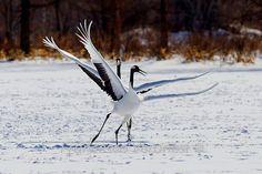 Red-crowned Crane -Japanese dancing crane- Hokkaido_S4E4697-23   Flickr - Photo Sharing!
