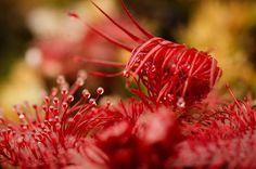 Макрофото росянки обладают гипнотическим эффектом. Just to remind everybody that the carnivorous plants have not been forgotten :) #drosera #slackii #eating | #sundew #sundewsupclose #carnivoroustagram #carnivorousplants #californiacarnivores #macrophotography #macroplants #garden_explorers #marcoworld_tr #udog_macro #macro_champ #sensational_macro #macro_vision #ig_closeups #macromood #plantgeeks #plantoftheday #sticky ( # @a_piece_of_nature )