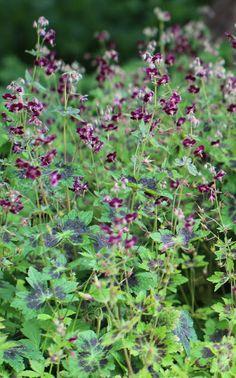 Geranium phaeum. Good herbaceous dry shade perennial. Taller hardy geranium.