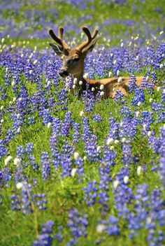 This blacktail deer knows how to enjoy the wildflowers in Olympic National Park in Washington. Find a meadow covered in flowering purple lupines and settle in for a relaxing afternoon. Is there anything more peaceful than this? Photo by Jim Tobalski (www.sharetheexperience.org).