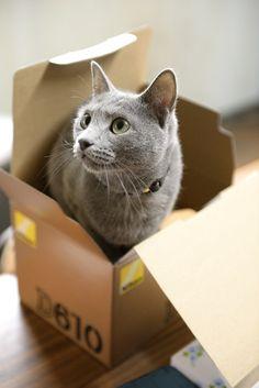 【ロシアンブルー】 暇だから飼ってるネコの写真でも上げみる:ハムスター速報