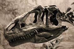 The skull of Allosaurus, the most common carnivore of Late Jurassic North America.