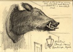 Wild boar, Guadalupe, Spain