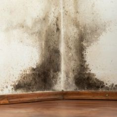 Toxic Black Mold Stachybotrys Chartarum The Most Dangerous Household Mold Stachybotrys