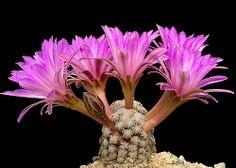 Mammillaria theresae by f.arias, via Flickr