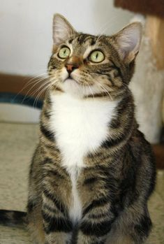 Tabby Cat questioning look. sweet Kitty } - Anna is an adoptable Cat - Tabby Cats And Kittens, Tabby Cats, Ragdoll Kittens, Funny Kittens, Bengal Cats, White Kittens, Black Cats, Pretty Cats, Beautiful Cats
